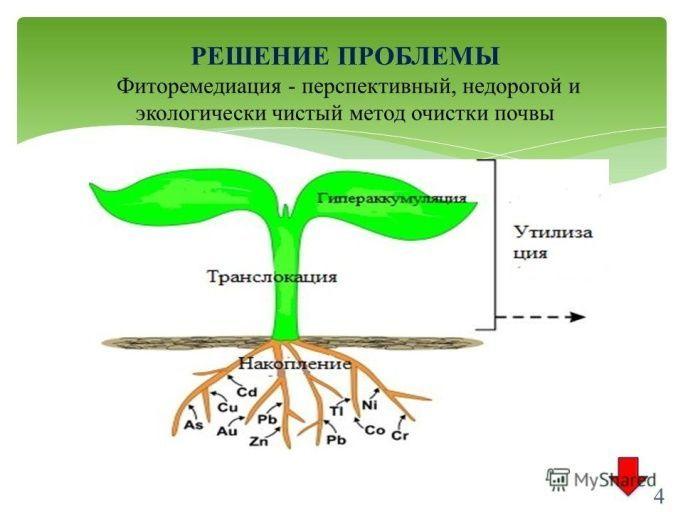 Фиторемедиация