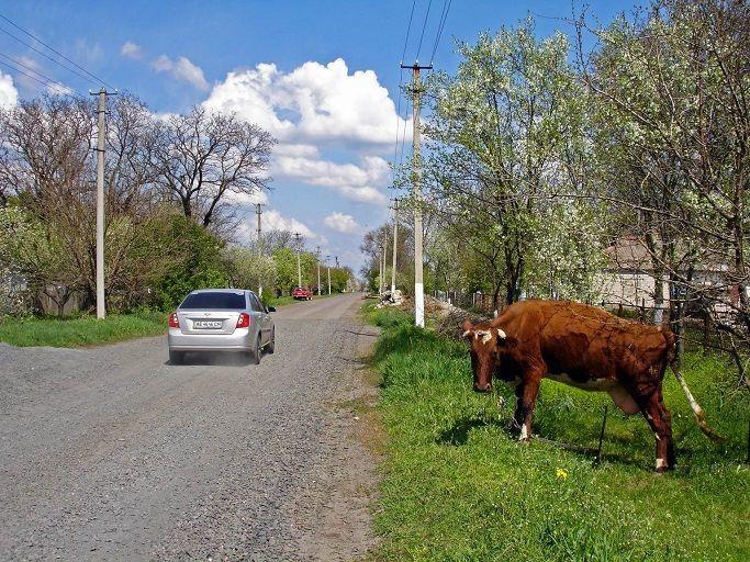 Корова у дороги