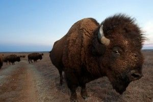 истребление бизонов в Америке