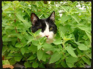 Кошачья мята отпугивает мошек от открытого окна