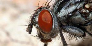Мошка под микроскопом имеет очень устрашающий вид