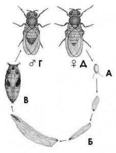 Мушка имеет три стадии развития яйцо, личинка, взрослое насекомое