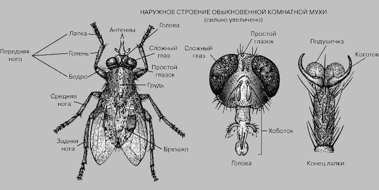 Наружное строение комнатной мухи