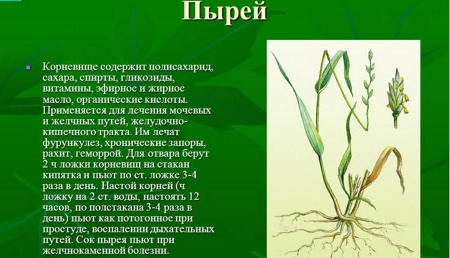Описание полезного растения