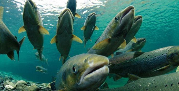 Рыба Ладожского озера