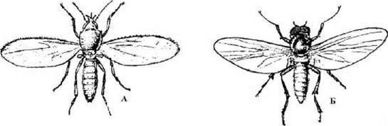 А - мокрец Culicoides nebeculosus, Б - широконогая мошка - Eusimulium latipes