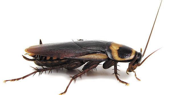 Черный таракан (Blatta orientalis)