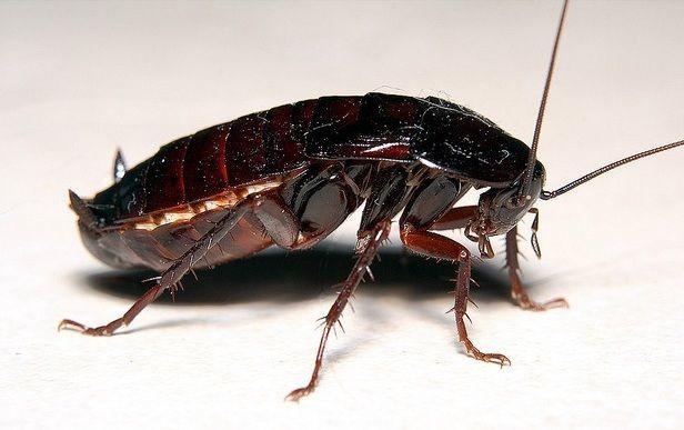 Черный таракан (крупным планом)