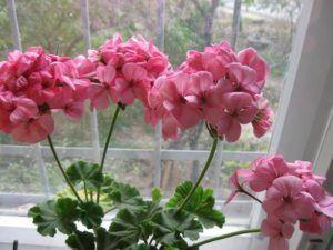 Герань розовая  (её запах отпугивает мошек)