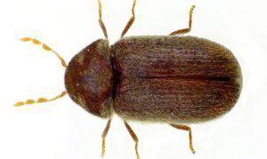 Хлебный точильщик (Drugstore beetle)