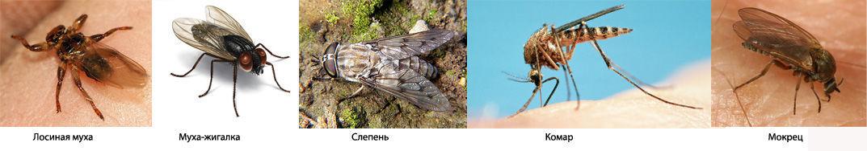 Кровососущие насекомые отряда двукрылые