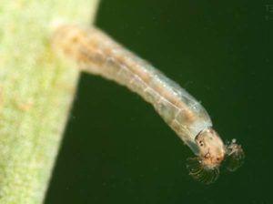Личинка мошки