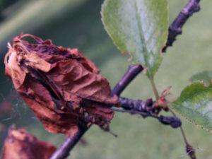 Листья скручиваются и сохнут из за насекомых
