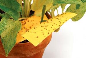Ловушка для мошек на комнатных растениях