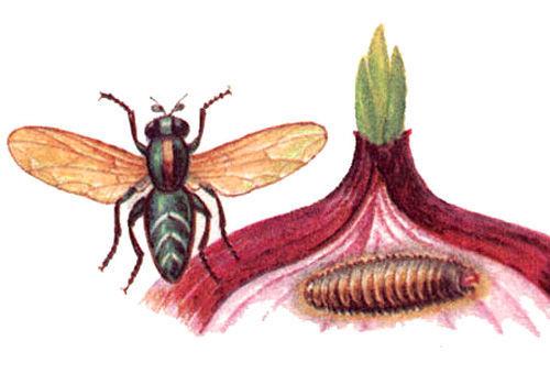 Луковая мошка и её личинка