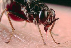 Момент укуса кровососущей мошки под микроскопом