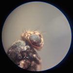 Мошка под микроскопом