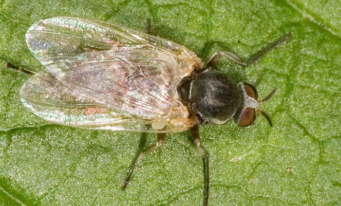 Мошка подсемейства Simuliinae