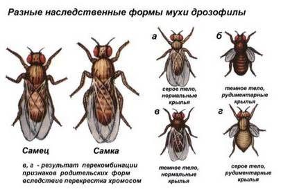 Наследственные формы мухи дрозофила
