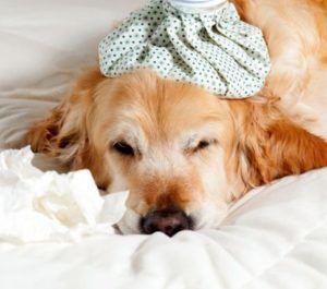 Охлаждение отека от укуса собаки насекомым