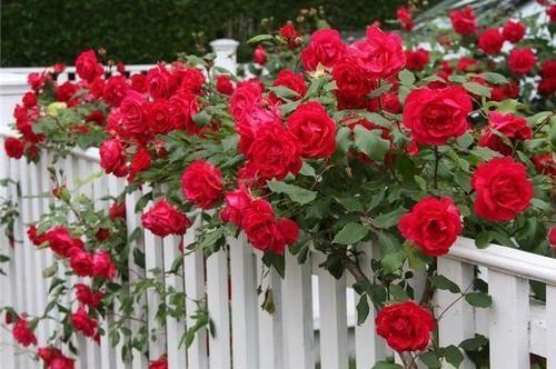 Опрыскать розы от тли можно если они растут не в фруктовом саду