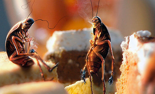 Оставленная на столе еда - пир для тараканов