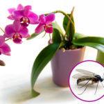Откуда появляются мошки в орхидеях