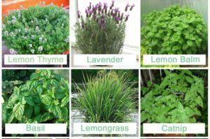 Растения против мошки, комаров и других насекомых