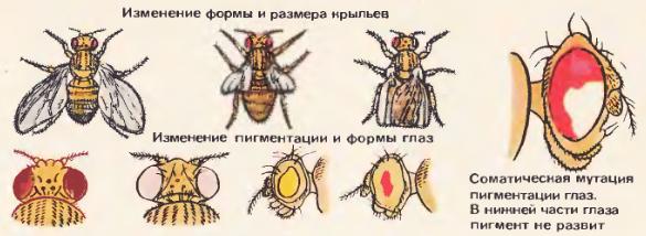 Различные мутации дрозофилы