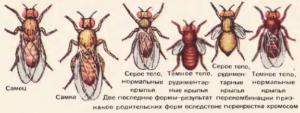 Разные наследственные формы мухи дрозофилы