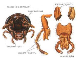 Ротовые органы таракана — грызущий ротовой аппарат