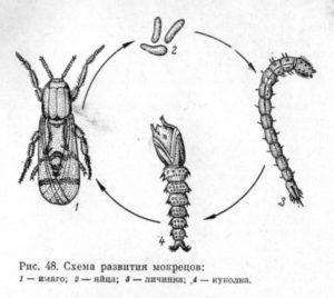 Схема развития мокрецов