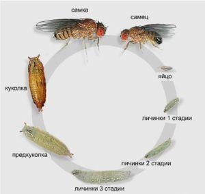 Цикл жизни мушки