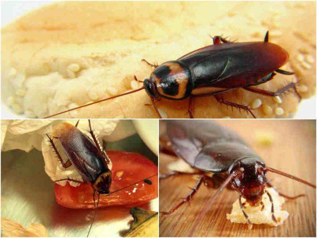 Тараканы без еды могут прожить около месяца, но без воды не больше недели