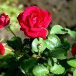 Тля поедает розу с листиков