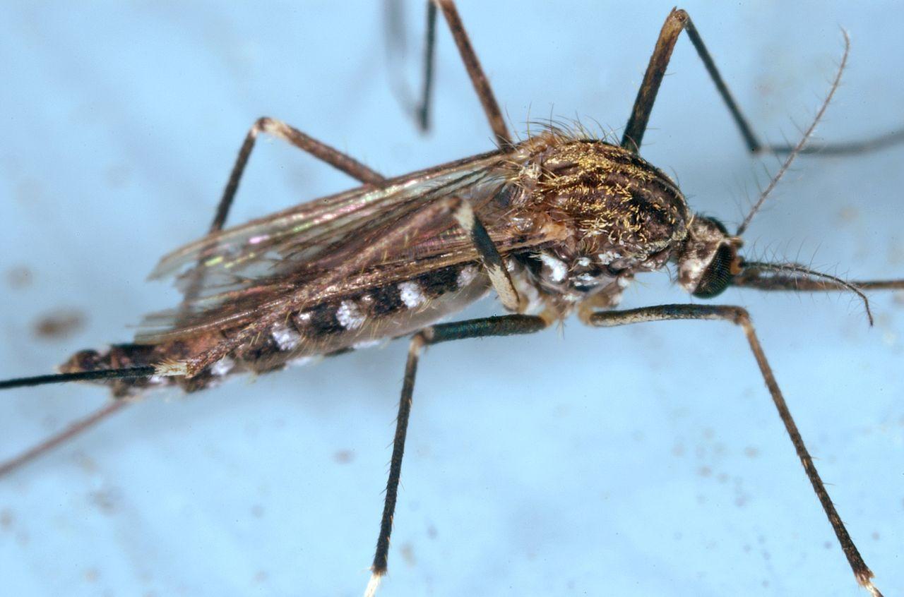 Весенний комар (род Ochlerotatus)