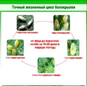 Жизненный цикл белокрылки