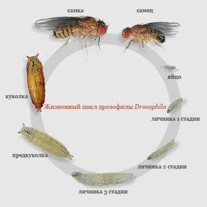 Жизненный цикл плодовой мушки дрозофилы Drosophila.
