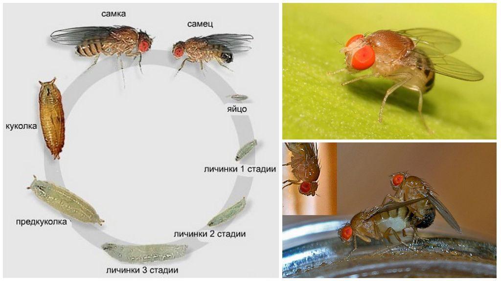 Жизненный цикл мушки дрозофила