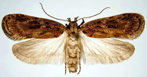 Зонтичная моль (Depressaria daucella)