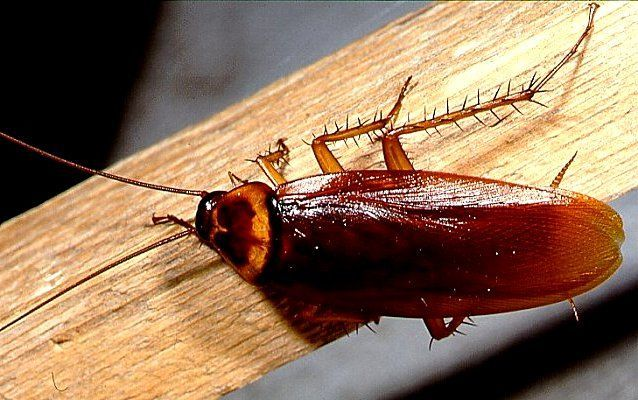 Тараканы часто беспокоят людей