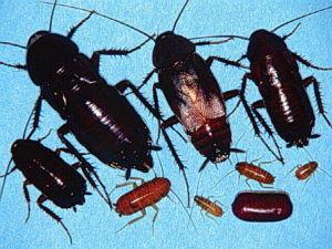 Чёрные тараканы и их личинки