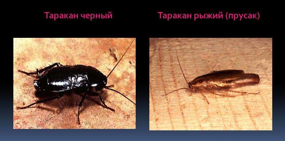 Чёрные тараканы живут дольше чем рыжие