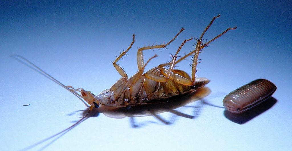 Дихлофос убивает таракана но не проникает в яйца таракана