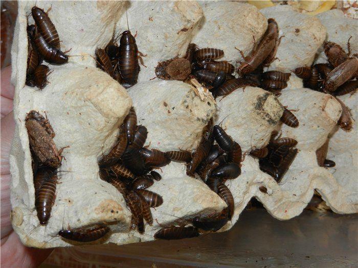 Для разведения тараканов отлично подойдут яичные лотки
