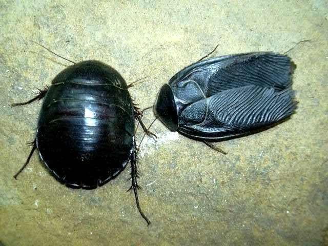 Египетский таракан