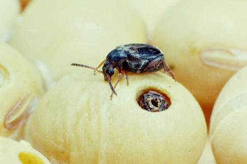 Фасолевая зерновка вредит вашим бобам