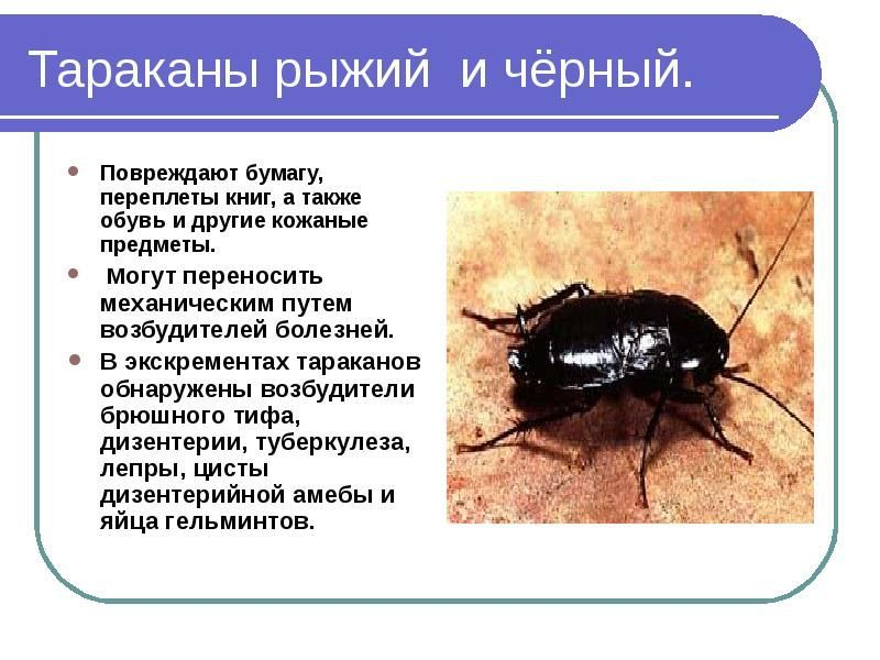 Какой вред приносят тараканы