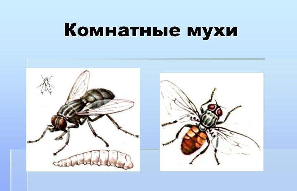 Комнатная муха - опасный разносчик множества видов заболеваний
