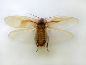 Летающий таракан который живёт в дикой природе